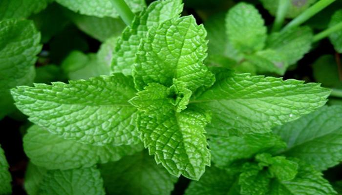 Bài thuốc nam chữa viêm loét dạ dày từ lá bạc hà