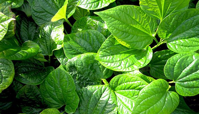 Bài thuốc chữa viêm xoang từ lá lốt