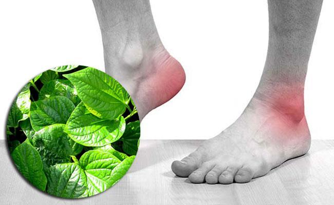Lá lốt có tác dụng tuyệt vời trong chữa bệnh gout